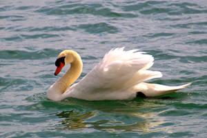 Swan by minamiko