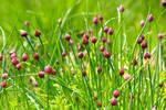 field of chives in bud (Allium schoenoprasum)