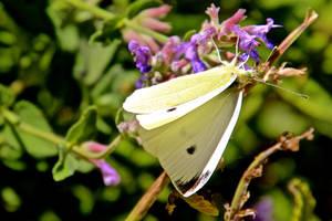 Cabbage White (Pieris rapae) female by minamiko