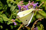 Cabbage White (Pieris rapae) female