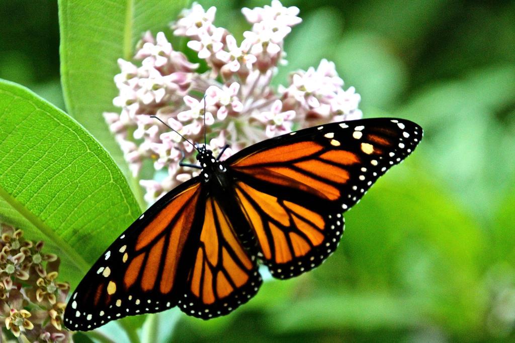 Monarch (Danaus plexippus) female (3) by minamiko