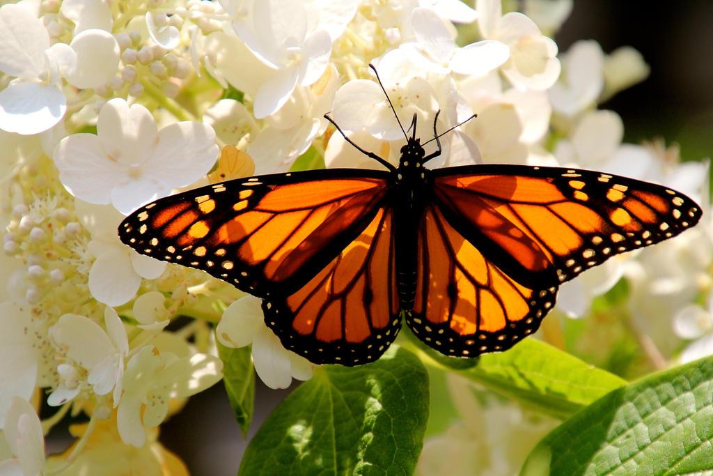 Monarch by minamiko