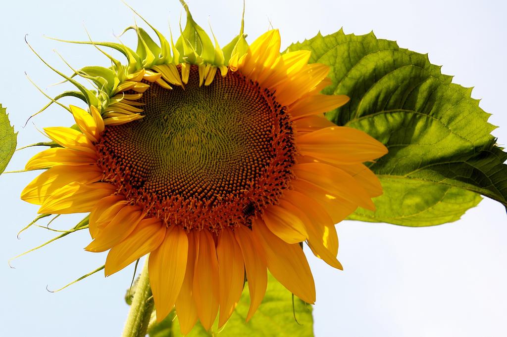 sunflower by minamiko