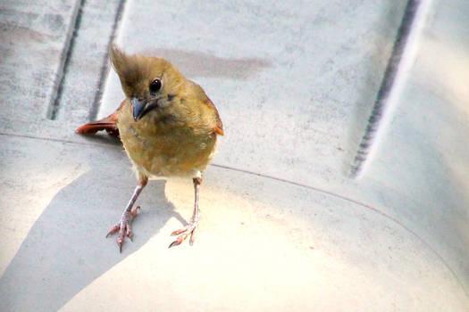 Cardinal - juvenile male
