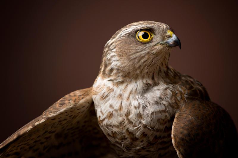 Sparrowhawk's Eye by zoldszorny