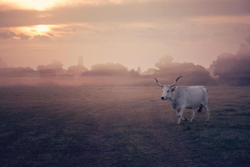 Grey cow by zoldszorny