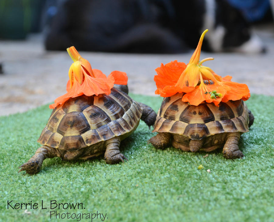 Chelonian flower power by KerrieLBrown