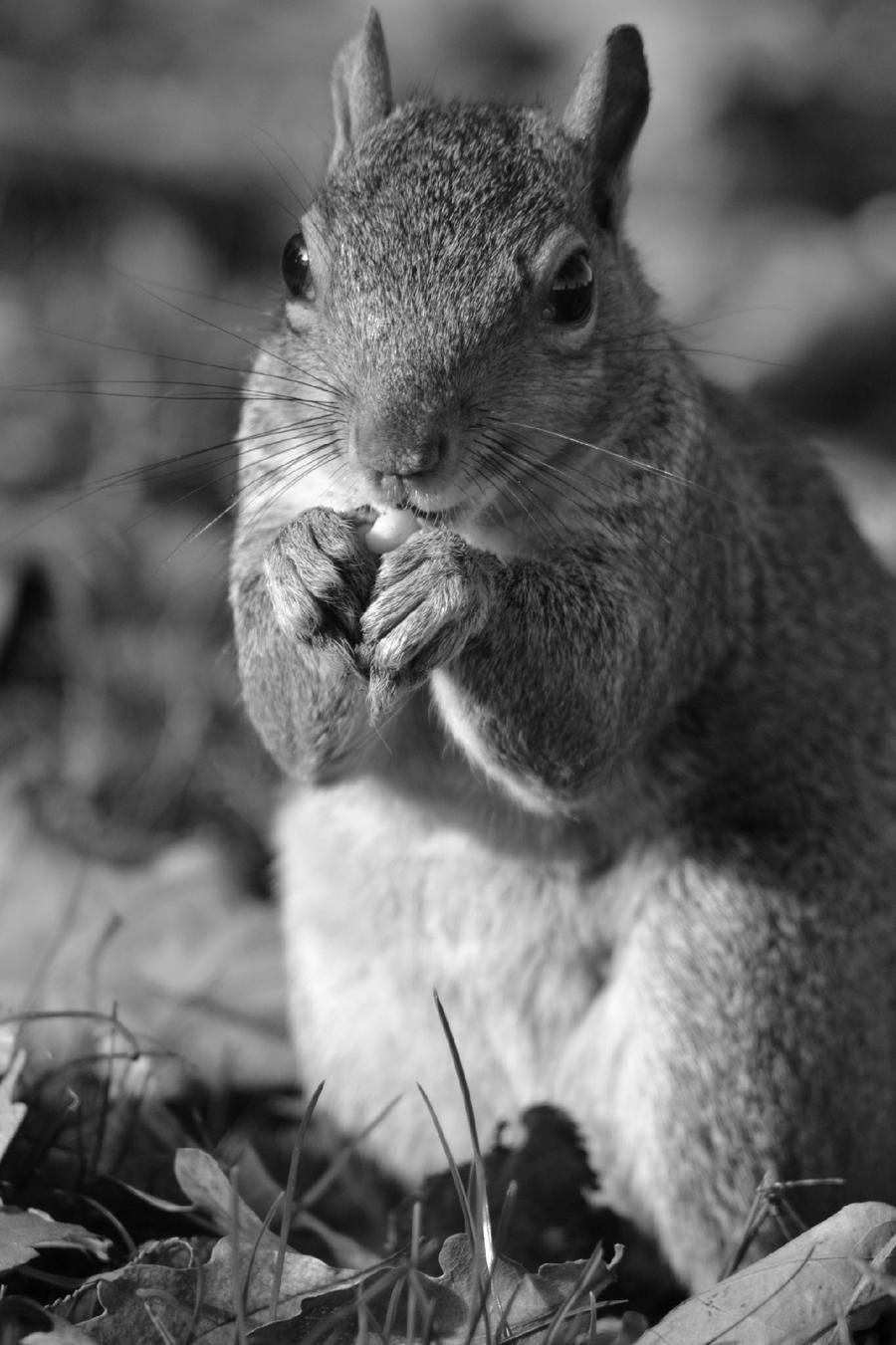 black_and_white_squirrel__by_kerrielbrown_d6t0hh9-fullview.jpg