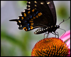 Butterfly feeding by Roland3791