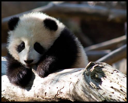 Teething baby panda