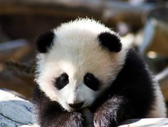 Baby Panda... again