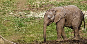 March of the baby elephant