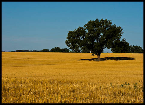 Alone in a field of gold