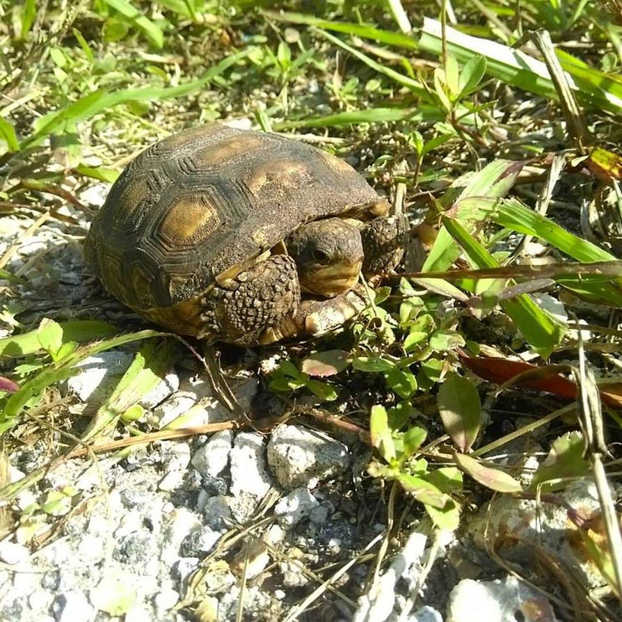 Gopher Tortoise by buddhabear