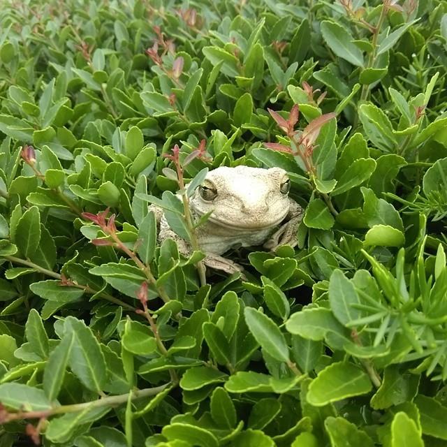 Tree Frog in a Bush by buddhabear
