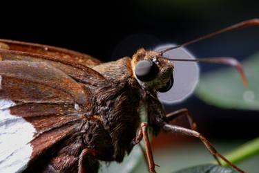 Silver Spotted Skipper Butterfly by Frijoleluna