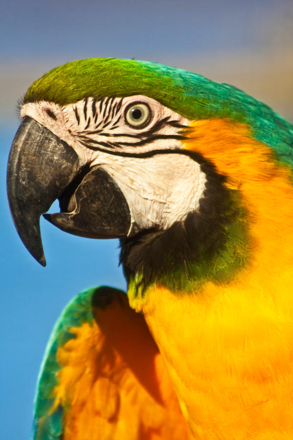 Yellow And Green Parrots Yellow Green Parrot by