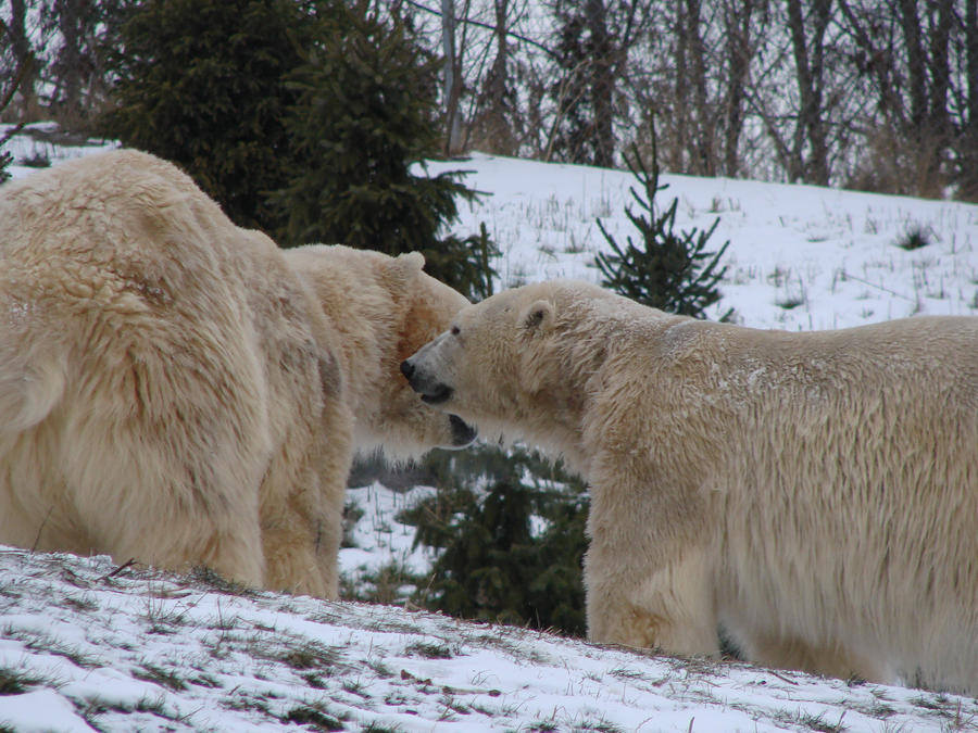 http://fc05.deviantart.net/fs71/i/2010/015/a/8/Polar_Bears___Toronto_Zoo_by_roamingtigress.jpg