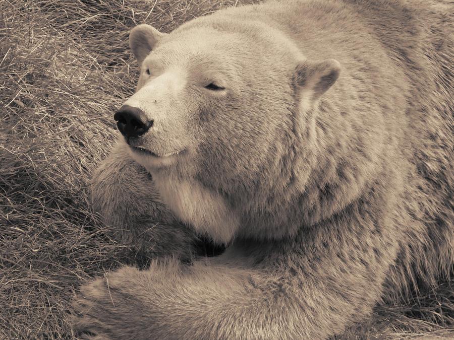 Polar Bear in Sepia by roamingtigress