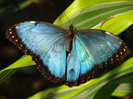 Beautiful Blue - Blue Morpho by roamingtigress