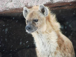 Hyena in Winter by roamingtigress