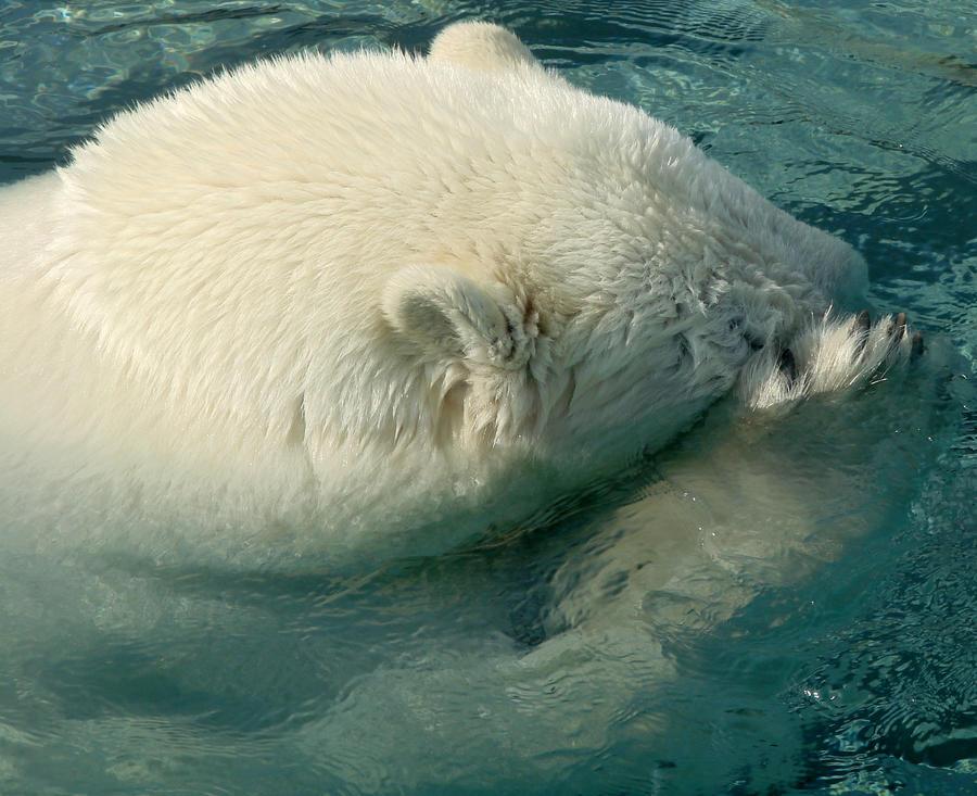 Oh Bother - Polar Bear by roamingtigress