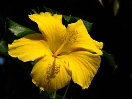 Golden Shine by roamingtigress