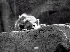 Snoozing Hyena by roamingtigress