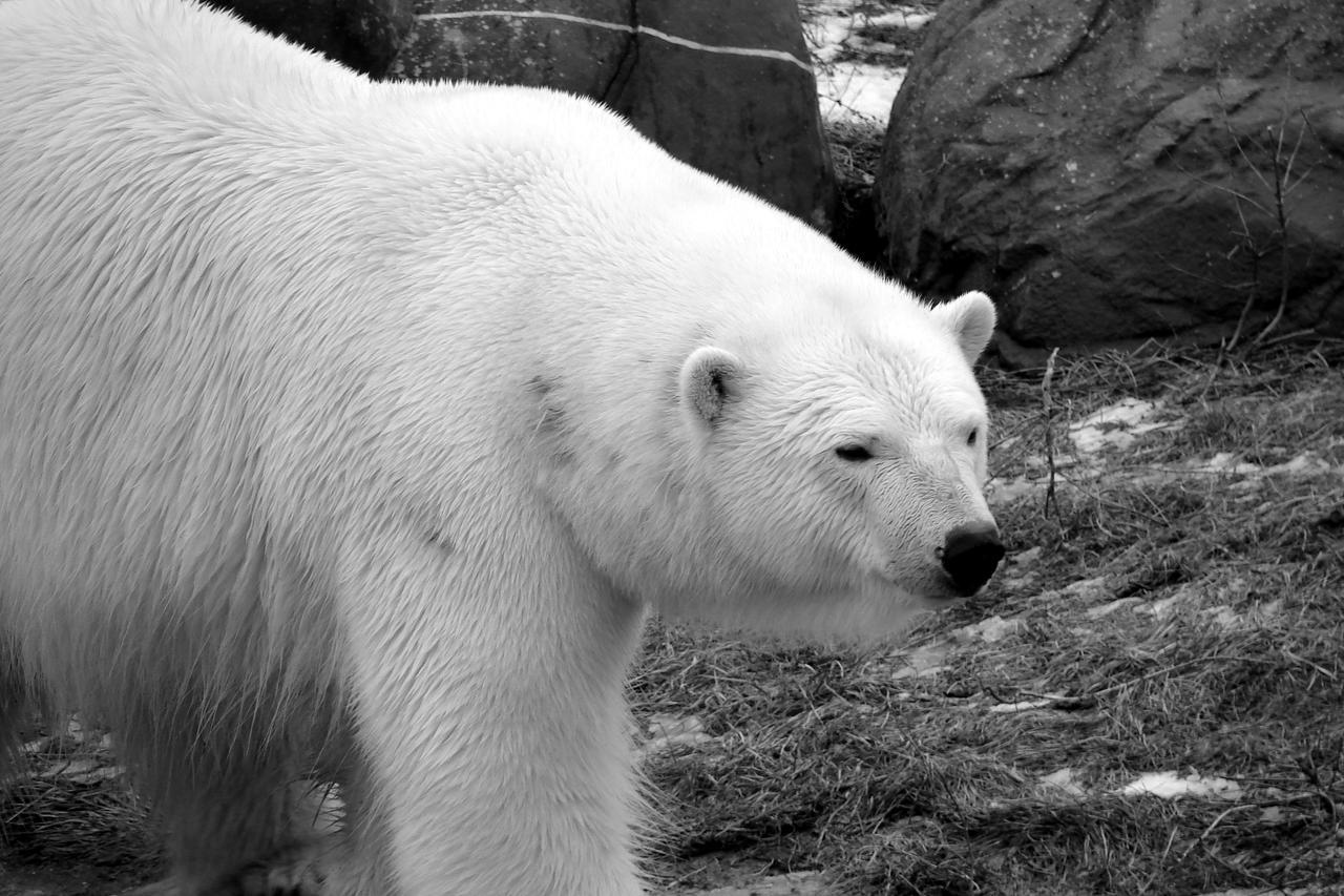 Black And White Bear : Polar bear in black and white by roamingtigress on deviantart