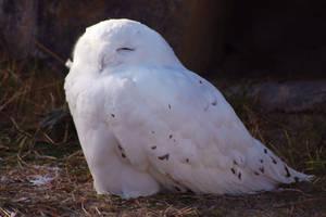Lovely Owl by roamingtigress