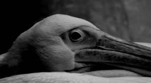 The Restful Pelican