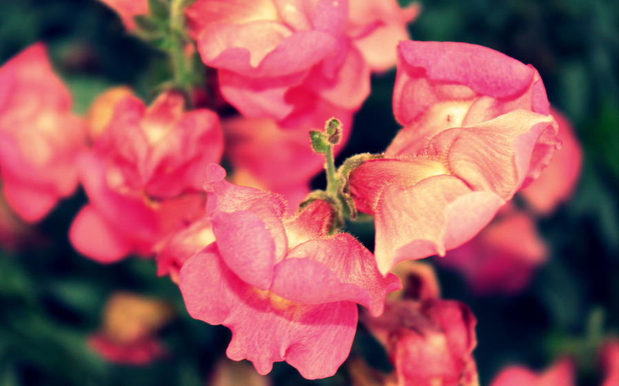 Pink Beauty by roamingtigress