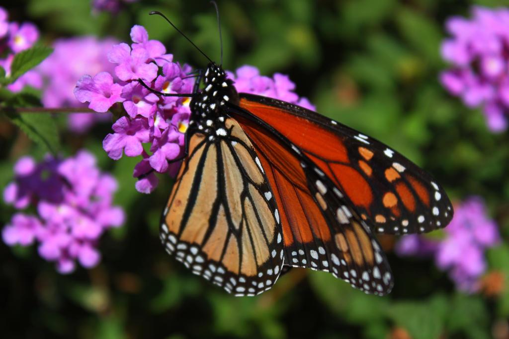 The Monarch by roamingtigress