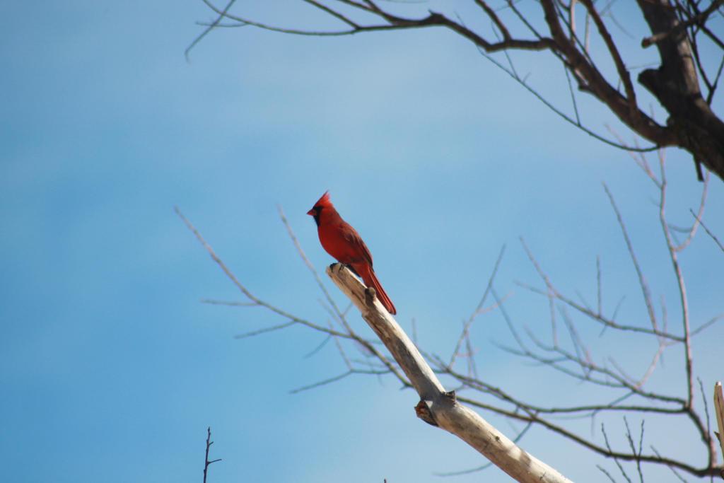 The Cardinal by roamingtigress
