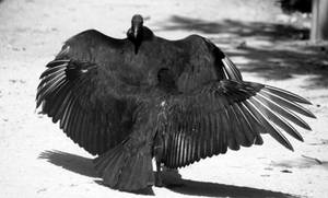 The Culture of Vultures