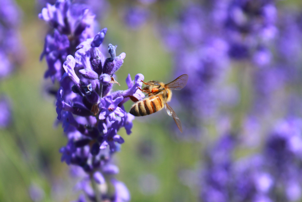 The Lavender and The Bee by roamingtigress
