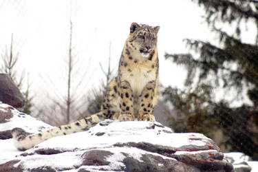 The Snow Leopard by roamingtigress