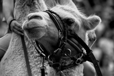 The Camel by roamingtigress