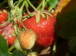 Stawberry Picking 1