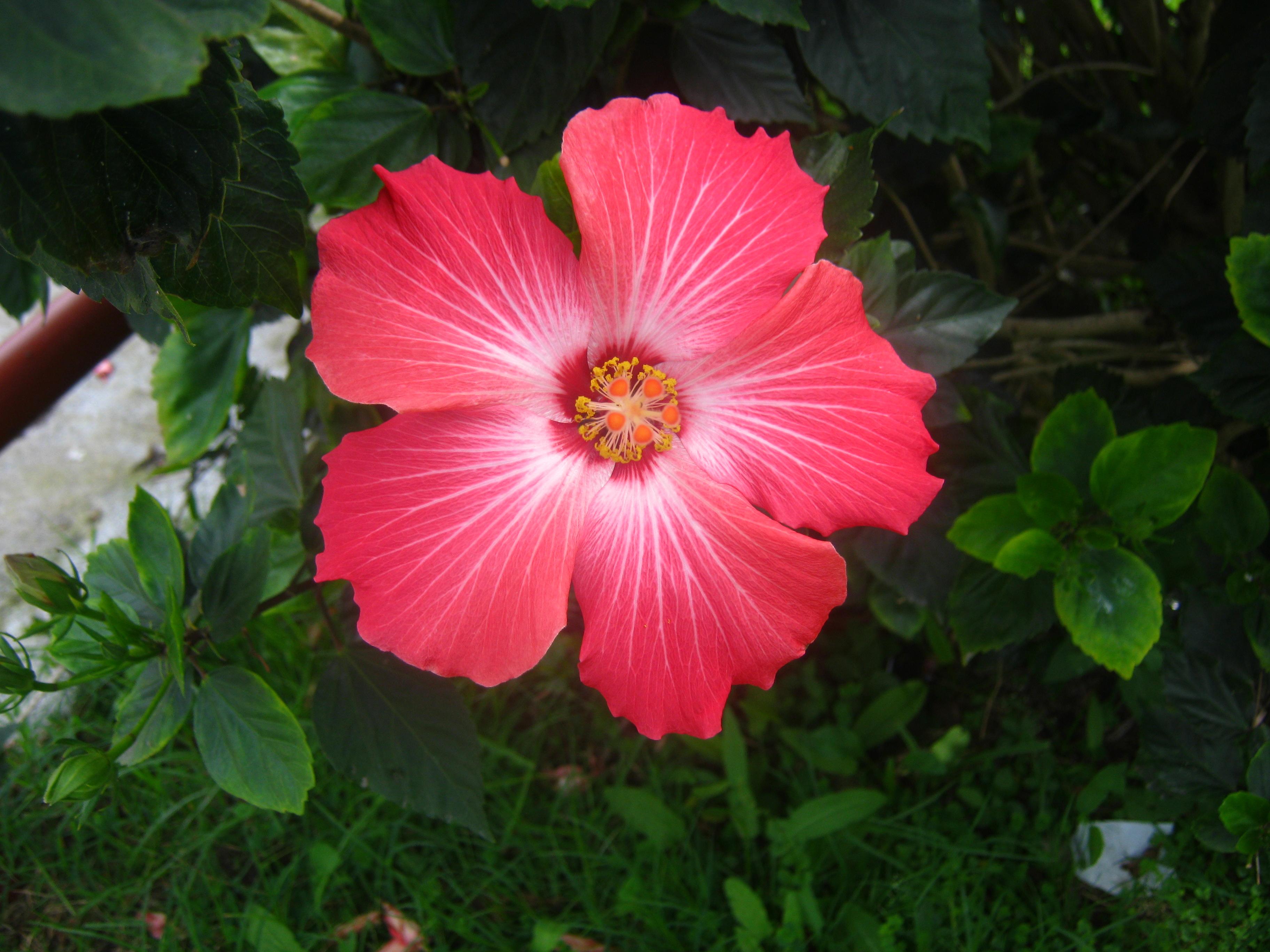 Flor de amapola amapola flower by dariusmondracos on for Amapola jardin de infantes palermo
