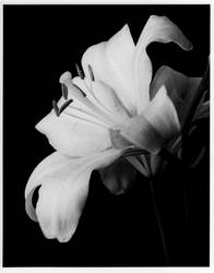 Star Lily by digitalblue