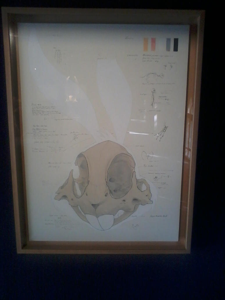 Anatomy of grey hare by BugsBunny85