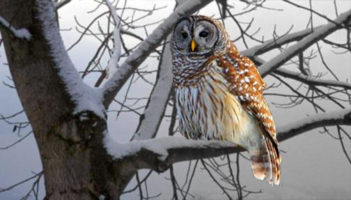 The Manip Owl by ekvogl