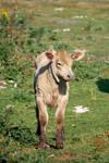 Broads: Young Calf