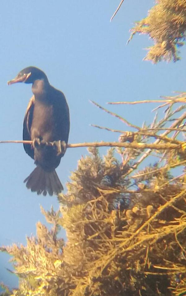 cormoran by olimacrostt