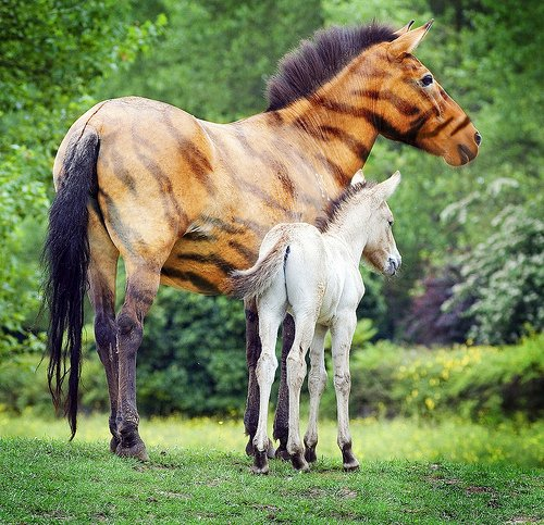 Tiger horse breed - photo#17