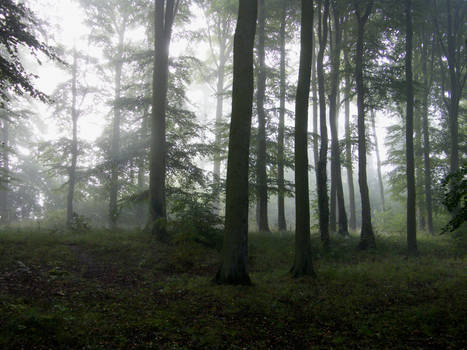 Misty beechwoods morning 02