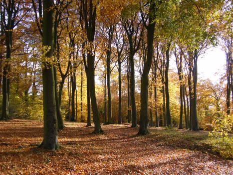 Autumn in the Beechwoods