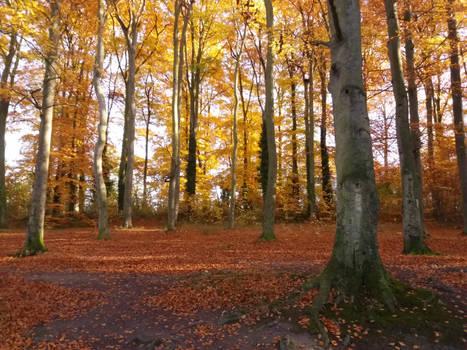 Autumn beechwoods 02