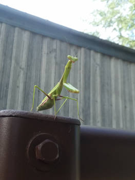 Meditation With A Mantis